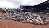 Đăk Nông Cháy trang trại, hơn 1200 con lợn chết ngạt