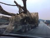 Vụ cây khủng nghênh ngang trên quốc lộ Phó Thủ tướng yêu cầu làm rõ có hay không hành vi bao che