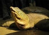 Bảo vệ nghiêm ngặt cá thể rùa Hoàn Kiếm mới được phát hiện
