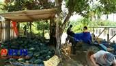 Quảng Nam Hàng ngàn tấn dưa hấu ứ đọng chờ được giải cứu