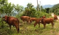 Khởi tố đối tượng ăn trộm bò tại Đồng Nai