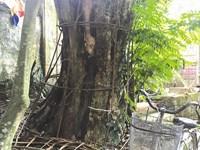 Số gỗ sưa đã mua bán là tài sản của nhân dân