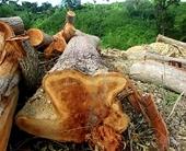 Ngang nhiên đưa cưa lốc, máy ủi vào phá cả hecta rừng