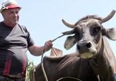 Tội nghiệp bò cái mang thai lĩnh án tử hình vì vượt biên trái phép