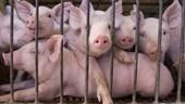 Công điện khẩn ngăn chặn dịch tả lợn Châu Phi vào Việt Nam
