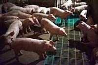 Dịch tả lợn bùng phát mạnh, Nhật Bản ngay lập tức dừng xuất khẩu thịt