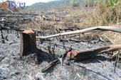 Chủ tịch công ty lâm nghiệp bị kỷ luật khiển trách vì để mất rừng