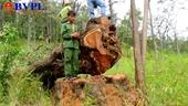 Truy tố 15 bị can vào Vườn quốc gia Yok Đôn khai thác gỗ Hương