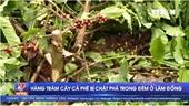 Hàng trăm cây cà phê bị chặt phá trong đêm ở Lâm Đồng