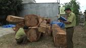 Phát hiện bãi gỗ lậu lớn gần kho doanh nghiệp