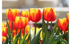 Cần gì đi Hà Lan, cả triệu bông tulip bung nở trên đỉnh Bà Nà Tết này