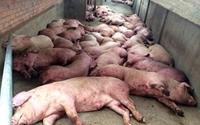 Ứng phó khẩn cấp với bệnh Dịch tả lợn châu Phi