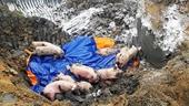 Việt Nam phát hiện hai ổ dịch tả lợn châu Phi