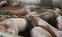 Bệnh tả lợn Châu Phi không có khả năng lây sang người
