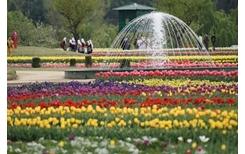 """Cận cảnh vẻ đẹp rực rỡ của những vườn tulip """"khủng"""""""