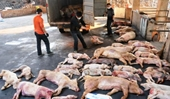 Thủ tướng chỉ đạo trực tuyến phòng chống dịch tả lợn Châu Phi