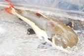 Bắt được thủy quái râu dài, đuôi đỏ nặng 15kg ở ao phía sau nhà
