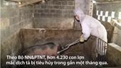 Hơn 4 000 con lợn mắc dịch tả châu Phi bị tiêu hủy