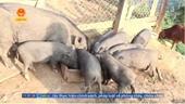 Điện Biên xuất hiện dịch tả lợn Châu Phi