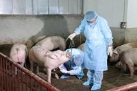 Liên Hiệp Quốc giúp Việt Nam ứng phó dịch lợn Châu Phi