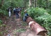 Khởi tố vụ khai thác thông cổ thụ quý hiếm trong rừng phòng hộ