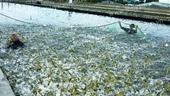 Yêu cầu Bộ Công an điều tra, triệt phá dứt điểm các đối tượng, cơ sở đưa tạp chất vào tôm
