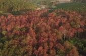 Hơn 10 ha rừng thông bị chết do đầu độc