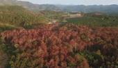 """Vụ hơn 10 ha rừng thông bị chết do đầu độc Khởi tố vụ án """"Hủy hoại tài sản"""""""