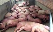 Phòng chống dịch tả lợn Châu Phi Làm không tốt dịch vẫn quay trở lại