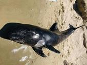 Phát hiện xác cá voi dạt vào bờ biển