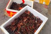 Tôm hùm càng đỏ là loài ngoại lai xâm hại, không được phép kinh doanh tại Việt Nam