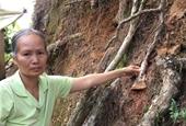 Kinh ngạc với thủ đoạn đầu độc rừng thông bằng thuốc diệt cỏ