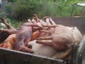 Xuất hiện ổ dịch tả lợn châu Phi tại Quảng Bình