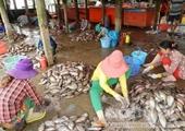 Chuyện lạ miền Tây Tranh nhau mua vảy cá với giá rất cao