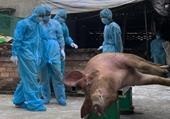 Lâm Đồng công bố dịch tả lợn châu Phi