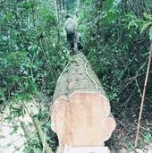 Kiểm sát khám nghiệm hiện trường vụ khai thác gỗ trái phép tại rừng phòng hộ
