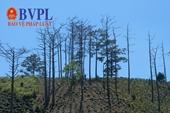 Hậu vụ rừng thông bị đầu độc Lâm Đồng thu hồi gần 200 dự án liên quan đến rừng và đất lâm nghiệp