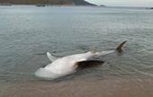 Lai thêm một xác cá voi trôi dạt vào bờ biển Vạn Ninh