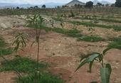 Ồ ạt trồng cây mật độ dày chờ Dự án đường bộ cao tốc Bắc-Nam đền bù