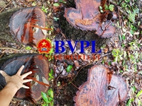 Xót xa cảnh hàng trăm cây rừng bị đốn hạ trơ gốc ở Quảng Trị
