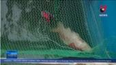 Cá Koi Nhật chết nổi trên mặt nước sông Tô Lịch