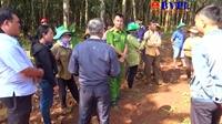 Người dân ngang nhiên chặt phá hơn 600 cây cao su của doanh nghiệp đem bán
