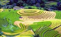 Đắm mình trong mùa vàng Bắc Yên
