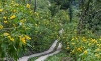 Hoa dã quỳ nở rộ trên núi Ba Vì