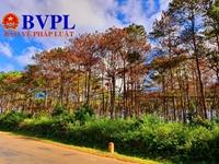 """Nhức nhối thực trạng """"hạ độc"""" rừng thông ven quốc lộ để chiếm đất"""