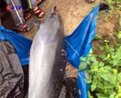 Giải cứu cá heo trôi dạt vào bờ biển