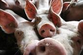 Tội phạm Trung Quốc lây lan dịch tả lợn châu Phi để ép giá người nuôi