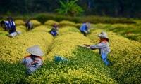 Ngất ngây sắc vàng rực rỡ của cánh đồng hoa cúc chi gần Hà Nội