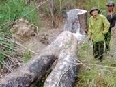 Lâm tặc lại vào Vườn quốc gia cưa hạ gỗ quý sau vụ chém Kiểm lâm