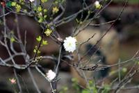 Ngắm vườn nhất chi mai giá bạc triệu được nhiều người săn lùng dịp Tết